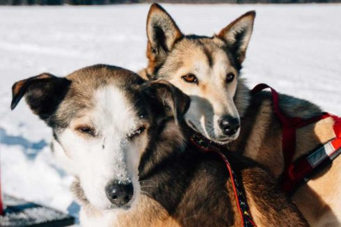 Two dogs ready to pull the sled