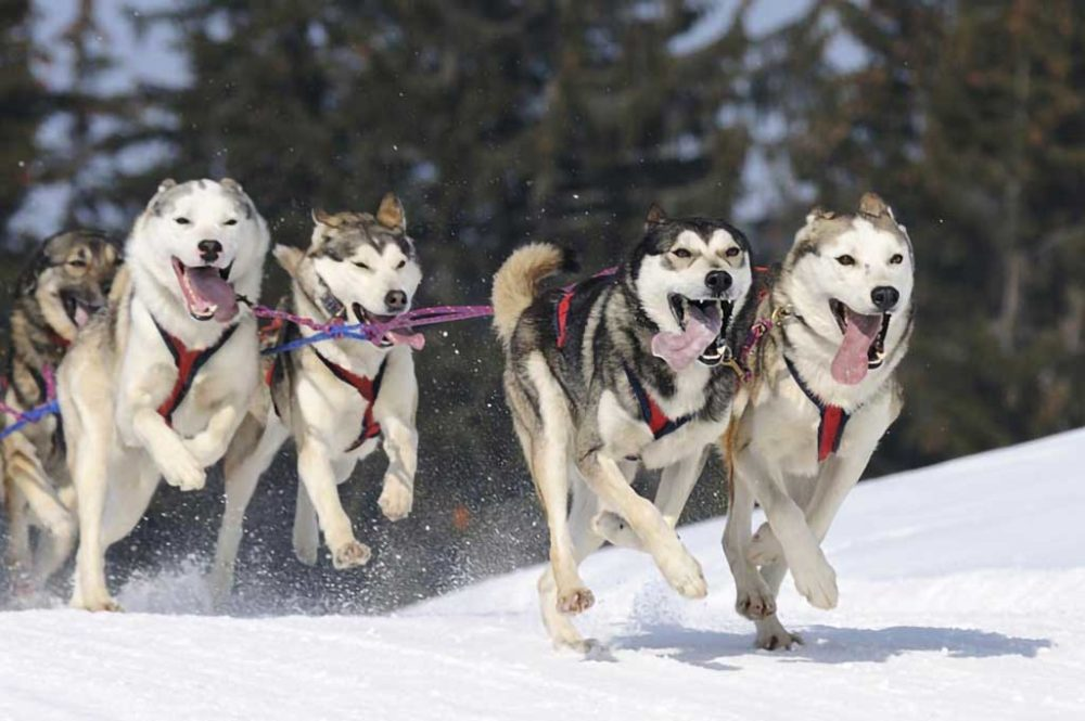 Huskies happy to pull the sled, tongues hanging out, smiling dog faces
